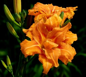 Common Day Lily