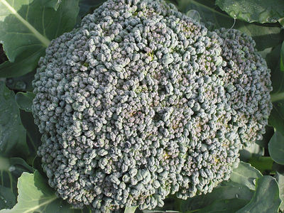 Head of broccoli. Credit to Rasbak, Wikimedia