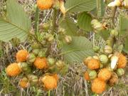 Golden Evergreen Raspberry