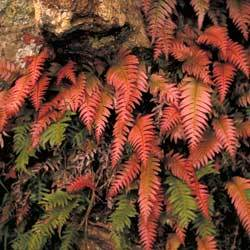 Colourful new growth fronds