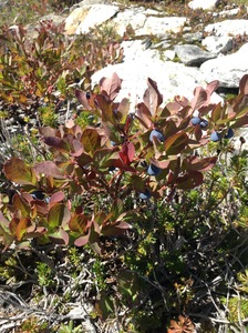 Alpine Blueberry