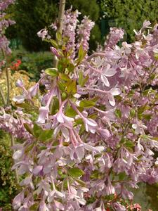 Lilac Daphne