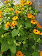 Black-Eyed Susan Vine