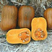 Honeynut Squash Seeds