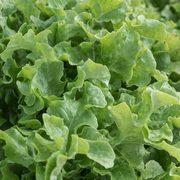 Lettuce Salad Bowl Organic Seeds