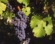 Common Grape Vine
