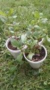 Plectranthus rotundifolius - African Potato Mint