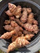Jerusalem artichoke / Sunchoke / Topinambur tubers