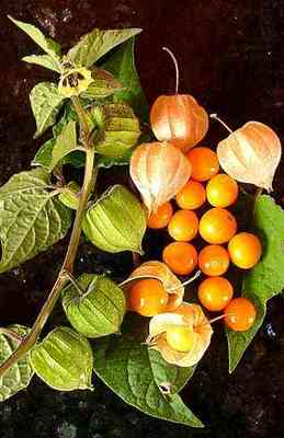 Ground cherry plant, fruit, and leaves