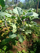 Abyssinian Cabbage