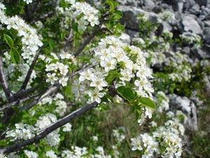 Mahaleb Cherry