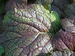 Close-up of giant red mustard leaf.