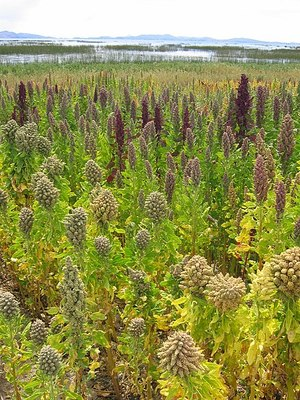 A field of Quinoa growing at Lake Titicaca, Bolivia