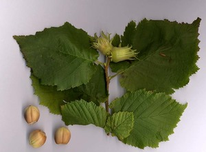 Common Hazelnut