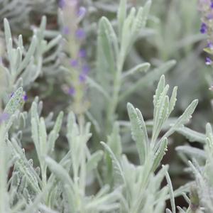 English Lavender (Organic, Heirloom) Seeds