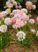 Blue Chives