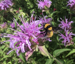 """Wild Bergamot/Bee Balm """"Oregano de la Sierra"""" - Monarda fistulosa"""