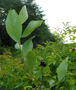 Black Highbush Blueberry