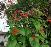 Salvia Coccinea Lady in red