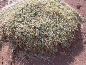 Australian Saltbush Australian saltbush