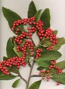 Cotoneaster frigidus