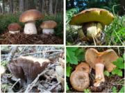 Powdered Mushrooms