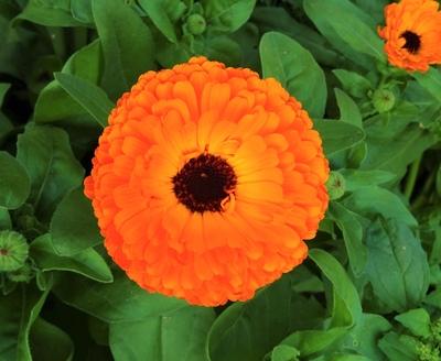 Bright calendula up close
