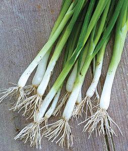 Organic Evergreen Longstanding Bunching Onion