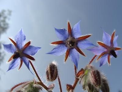 Borage flowers in the sun