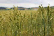 Pacific Bluestem Wheat