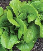 Lettuce Burpee Bibb Organic Seeds