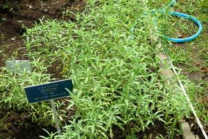 Mintweed