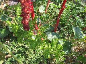 Huacatay (Tagetes minuta) seeds