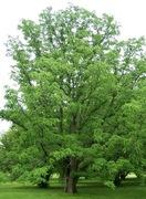Amur Cork Tree