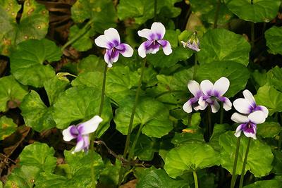 Viola banksii, showing the separate flower stems