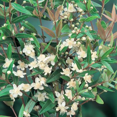 The flowers of a midgen berry plant