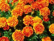 Organic Sparky Marigold Seeds