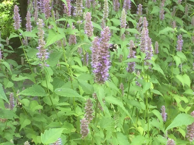 Patch of licorice mint / hyssop