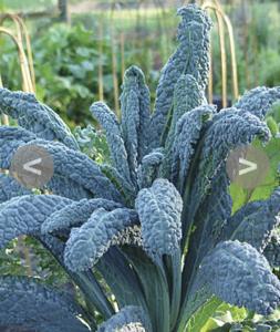 Dinosaur Kale Organic Seed
