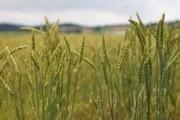 Kabanka Durum Wheat