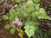 Ceylon Raspberry
