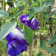 Butterfly Peas - Clitoria Ternatea double