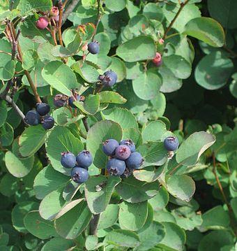 Saskatoon shrub, leaves and berries