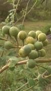 Turkey Berry - Pea Eggplant