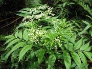 White Elderberry