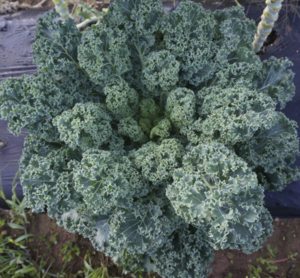 Kale Blue Curled Seeds