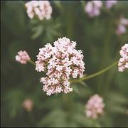Valerian Seeds (medicinal)