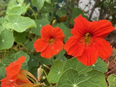 Bright orange flowers of nasturtium