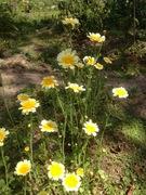 Edible Shungiku Chrysanthemum Seeds (medicinal)