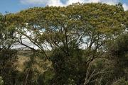 abaracaatinga